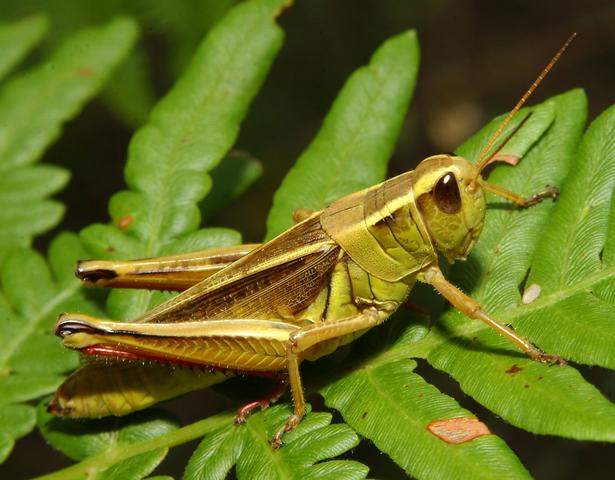 Two-striped grasshopper