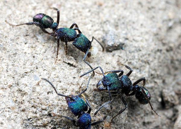 Ig47_ant_Rhytidoponera_02