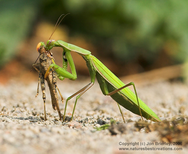 PrayingMantis06